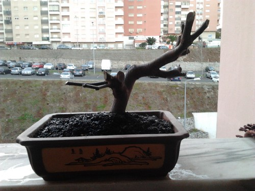 Pré bonsai marmeleiro