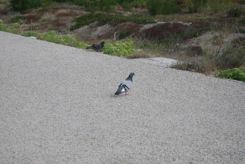 Um pombo pensativo