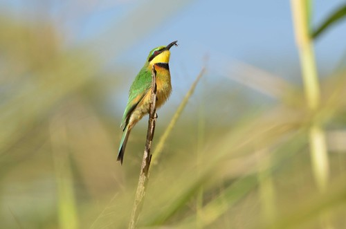 Little Bee-eater.jpg