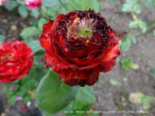 Quinta Monte de Esqueiros - Rosas - Junho 2017 -DS