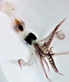 squid1.jpg