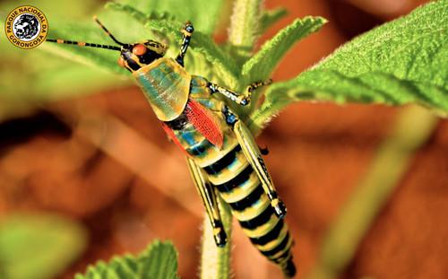 Elegant Grasshopper.jpg