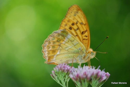 Argynnis paphia (amarelo)