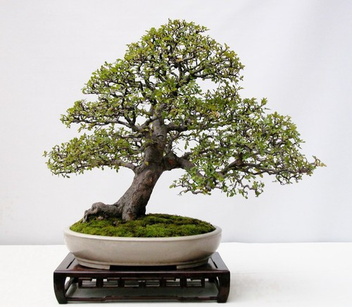 Bonsai inclinado