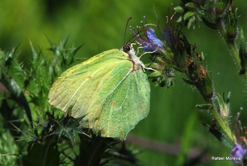 Gonepteryx cleopatra (amarelo)