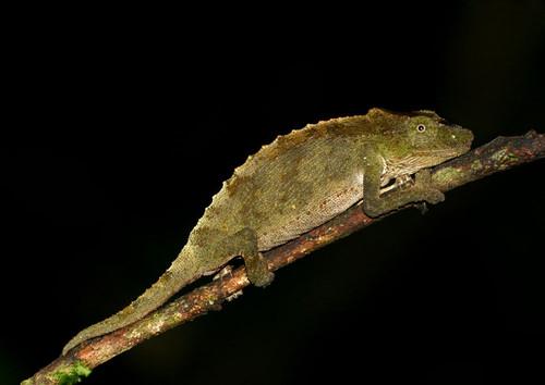 Rhampholeon gorongosae.jpg