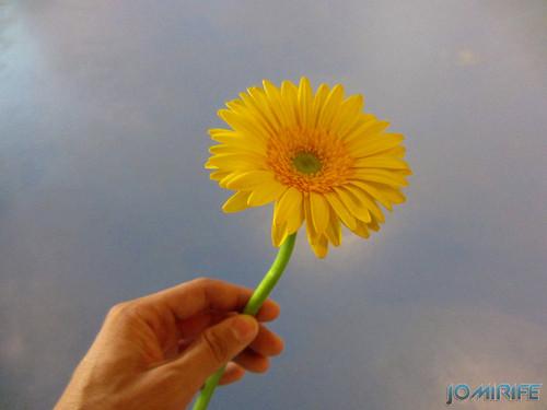 Flor Gerbera amarela, Yellow Gerbera flower (2)