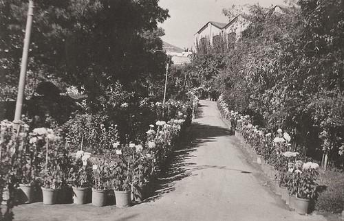 jardim castelo crisantemos.jpg