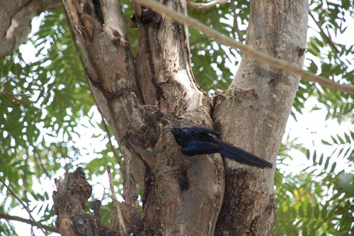 Scimitarbill Wood Hoopoe_AP.jpg