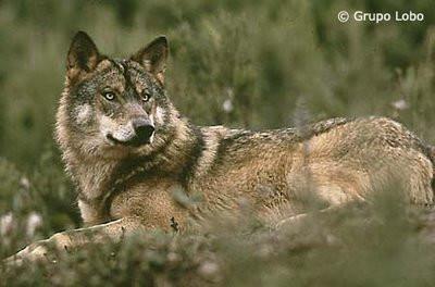 32 b2 - lobo.bmp