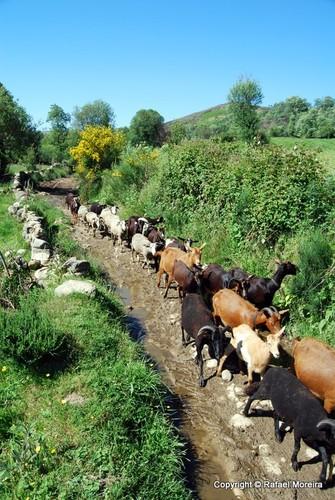 Cabras no trilho
