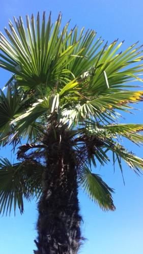 palmeira califórnia.jpg