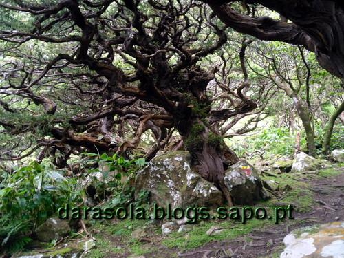 Azores_flores_faja_grande_16.JPG