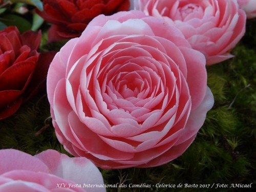6 - Festa Internacional das Camélias - Celorico d