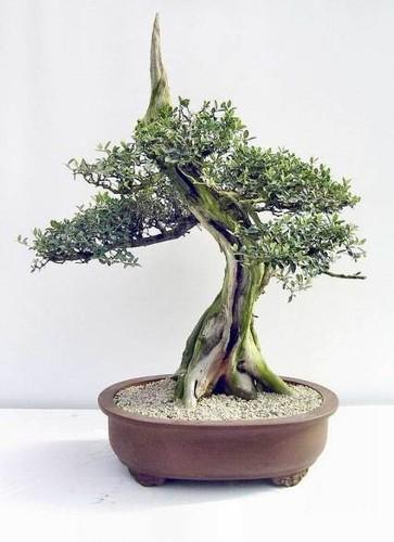 excelente exemplar de bonsai de oliveira