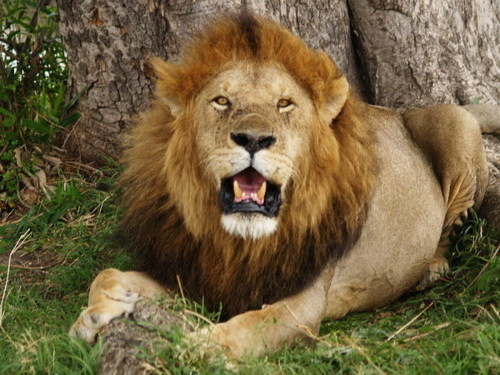 Lion_in_masai_maraDP.jpg