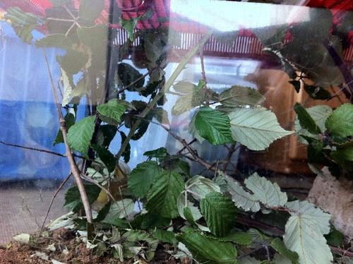 Já vamos na terceira geração de bichos-pau vietnamitas! Temos para dar e vender! Alguém quer??