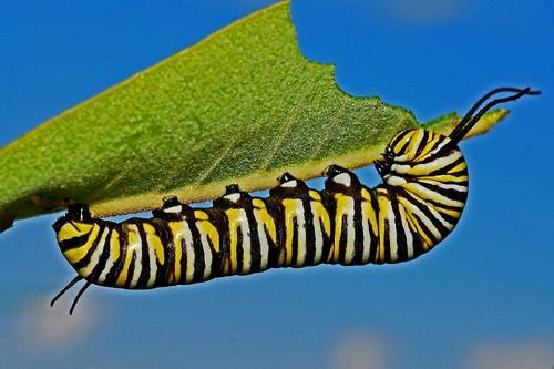caterpillar-562104_1920.jpg