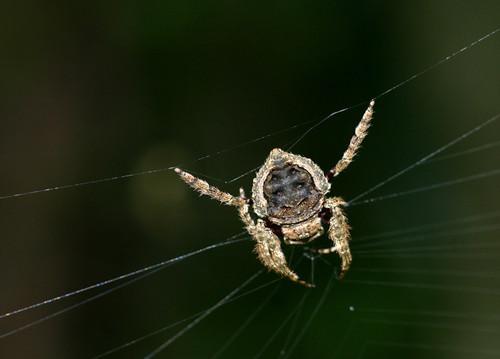 Bark Spider.jpg