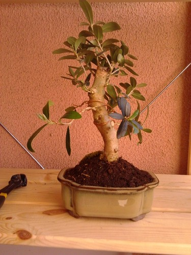 Bonsai de oliveira