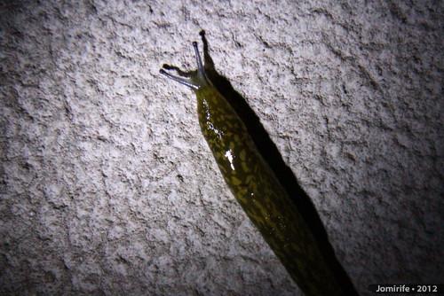 Lesma / Slug (35)