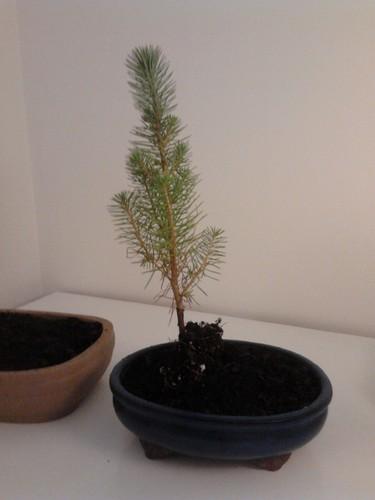 pinheiro manso