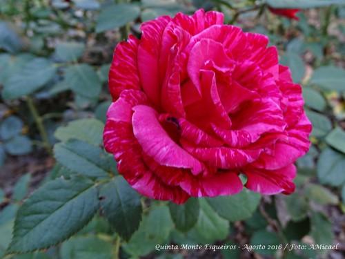 2 - Rosa - Agosto 2016 - DSC00263.jpg