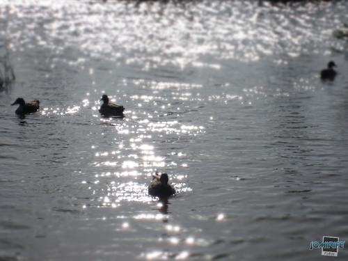 Patos Oasis praia Figueira da Foz - Reflexo de sol
