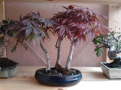 Acwr purpureum durante o verão