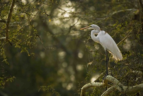 Great White Heron_JdS.jpg