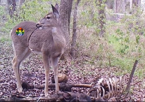 HD Bambi chafurda em carne humana.jpg
