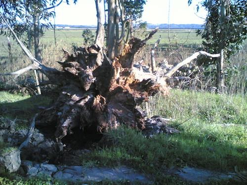 Árvore derrubada ao chão pela raiz