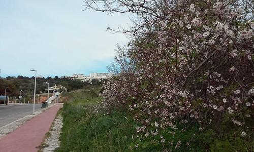 amendoeiras em florr2.jpg
