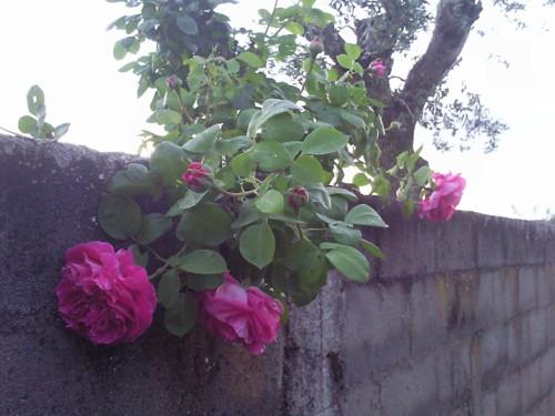 Rosas numa Aldeia. Original DAPL 2016.jpg