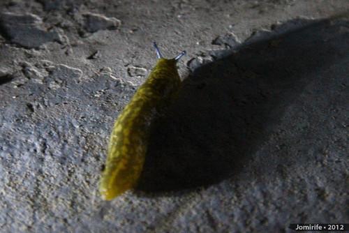 Lesma / Slug (76)
