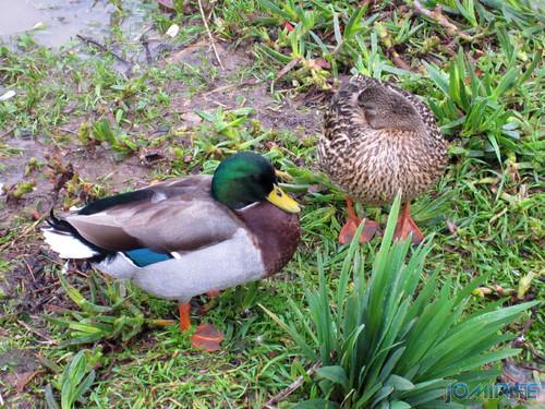 Patos | Ducks