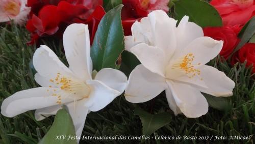 17 - Festa Internacional das Camélias - Celorico