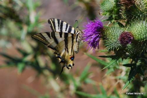Iphiclides feisthamelii (verde)