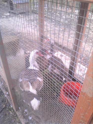 patos mudos castanhos