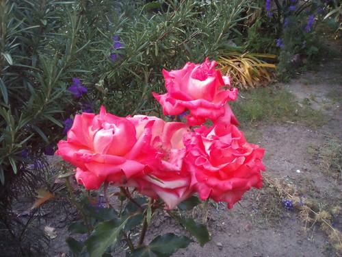 Rosas encarnadas Foto original DAPL 2016.jpg