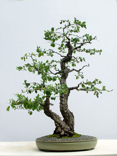 Tronco germinado bonsai