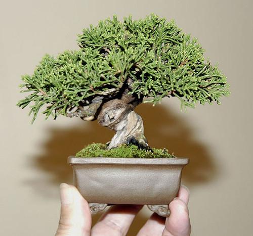 Bonsai mame