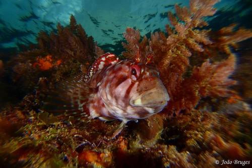 Um peixe atento, nos fundos da baía de Angra...