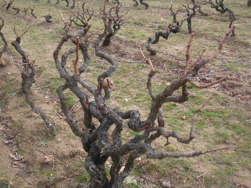 Poda das vinhas s louren o chaves - Poda de hortensias epoca ...