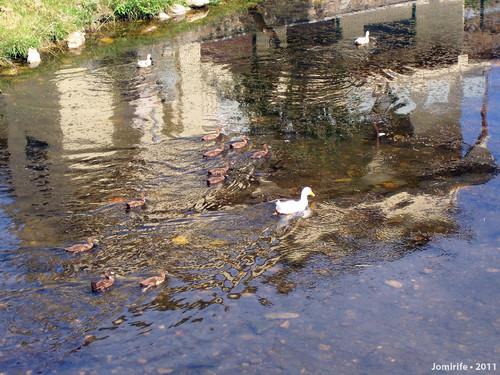 Patos no lago em Varge (Bragança)