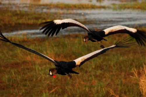 Grey Crowned Cranes_JB.jpg
