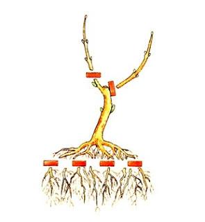Criar um bonsai