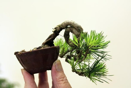 Bonsai minusculo