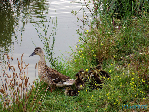 Nasceram patinhos e a família cresceu no parque do Oásis na praia da Figueira da Foz (2) [en] Mother duck and ducklings in Oasis Park in Figueira da Foz