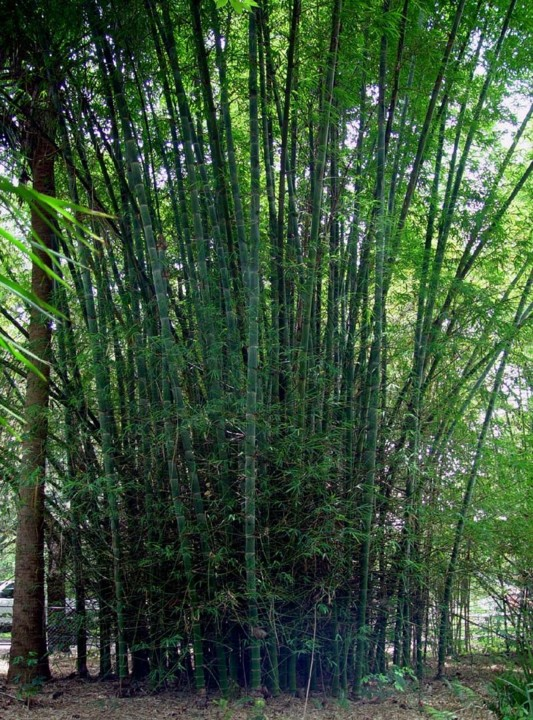 bamboo dendrocalamus membranaceus.jfif